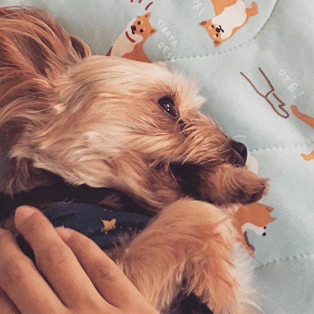 #ヨーキー #ヨークシャーテリア #ヨーキー大好き #ヨーキーlove #ヨーキー部 #ヨーキー倶楽部 #ヨーキースタグラム  #愛犬 #いぬばか部 #いぬら部 #いぬすたぐらむ  #yorkie #yorkshire_terrier #loveyorkie #yorkielove #ilovemydog #ilovedog #yorkiestagram #なでなでタイム #なでなで大好き #おしゃぶり