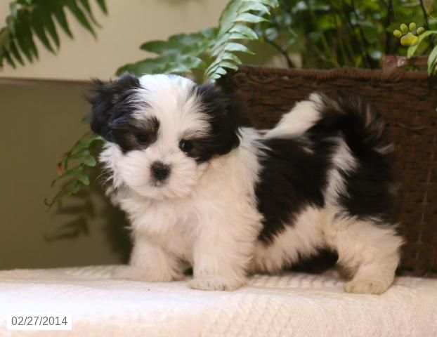 Maltipoo Puppies For Sale In Myrtle Beach