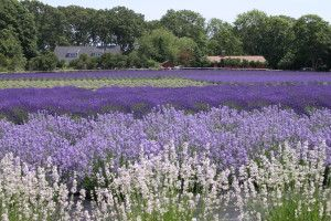 A beautiful lavender farm nearby in East Marion, NY (Long island) -  A three hour drive, perfect for a day trip on a beautiful summer day <3 We have planted twenty varieties of lavender across seventeen acres of farmland, yielding over 50,000 plants for cultivation.We offer seasonal fresh cut bunches, dried lavender, lavender plants, lavender sachets, honey from our own beehives and other crafts at the farm during the growing season