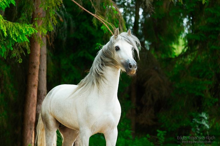 Andalusian stallion Problemas.jpg - Portrait of an Andalusian stallion