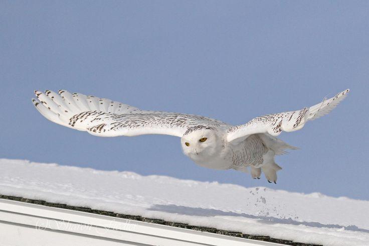 Fotografovat sovice sněžní Sharon Fiedler na 500px