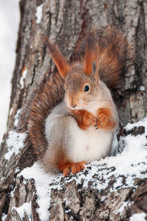 Super cool red squirrel