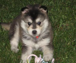 Perry the Pomsky is an adoptable Pomeranian Dog in Hendersonville, NC. Perry the Pomsky is a loving little guy. He's been identified as a pomsky. He'll be a great family pet. His adoption fee is $450....