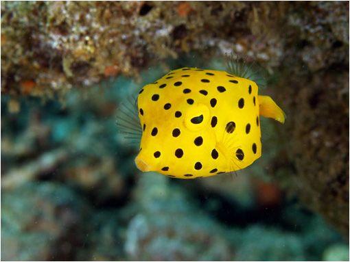El pez cofre amarillo es un habitante de los arrecifes de coral que se caracteriza por su singular apariencia con forma de cubo. Es de color amarillo con motas negras y los adultos son de color mostaza. En estado salvaje puede alcanzar los 50 cm, sin embargo en cautividad rara vez superan los 25 cm. Se alimenta de pequeños crustáceos y esponjas. Cuando se siente amenazado libera una toxina (Ostracitoxin) que contamina el agua. Su carne también es tóxica. Una maravilla de la naturaleza.