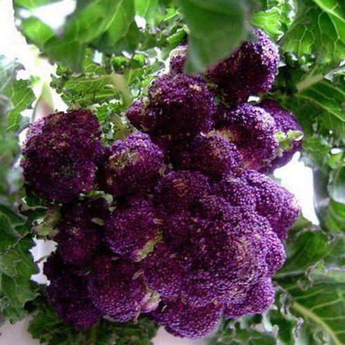 Broccoli Purple Sprouting Vegetable Seeds (Brassica oleracea) 100+Seeds - Under The Sun Seeds  - 3