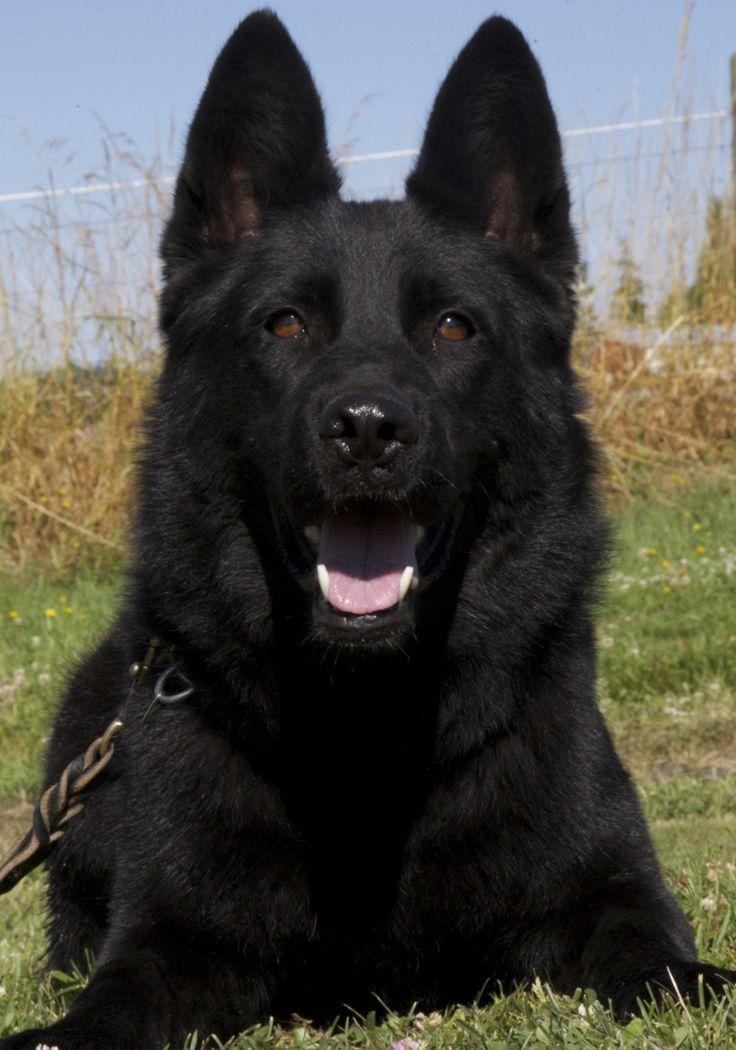 full black german shepherd - 736×1050