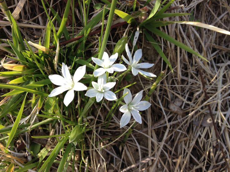 Sono dei ranuncoli una specie di fiore officinale che si trova nell'appennino settentrionale e centrale e nei Paesi Scandinavi