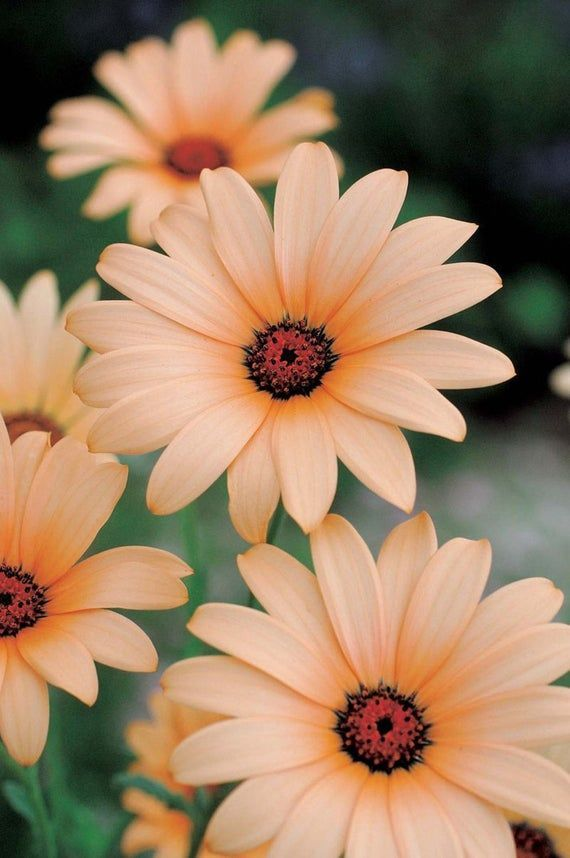 25 Light Orange Daisy Seeds Osteospermum Flower African Exotic Garden Plumeria S… #art