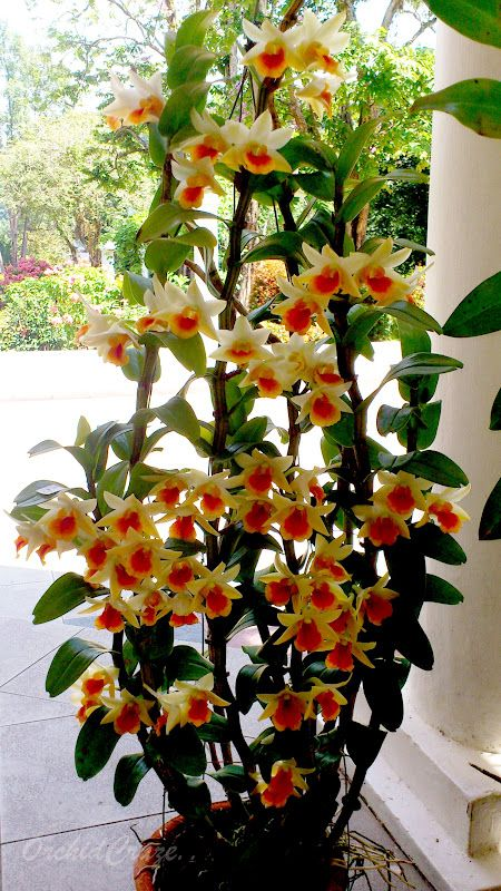 I think this is a dendrobium orchid.