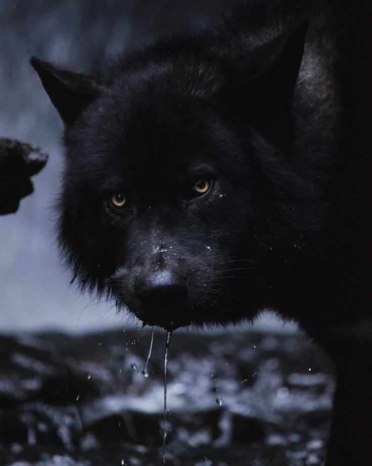 Wolf on   Wolves   Wolf, Wolf images, Wolf spirit animal