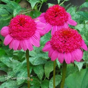 Gum Drop Coneflower. I didn't know there were so many different kinds of amazing flowers until Pintrest <3