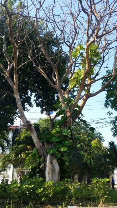 Árbol Caraqueña