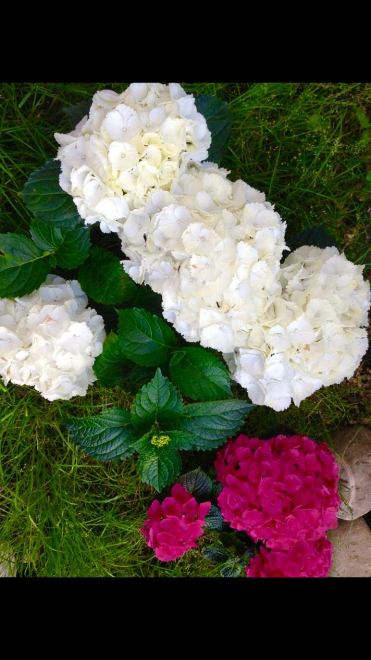 White and pink hydrancea