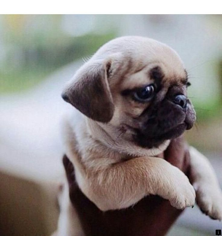 Look At The Webpage To Learn More About Buy A Pug Please Click