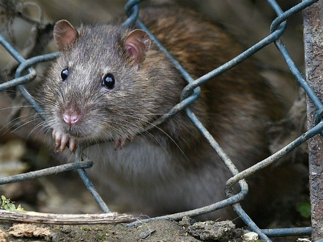 Relevant News: Venezuelan prisoners are eating rats and pigeons as a means of survival as food supplies continue to dissipate in the failed socialist state.