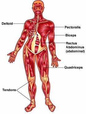 best 20+ skeletal and muscular system ideas on pinterest, Muscles