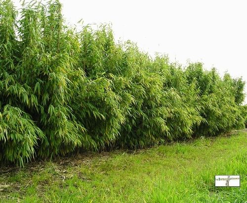 Bamboe als tuinafscheiding? Deze woekert niet. Fargesia murielae ´Jumbo´
