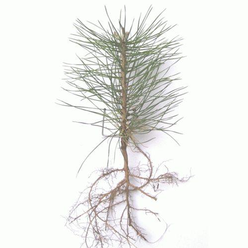 "austrian pine seedling | Austrian Pine Seedling 2-0 5/12"""
