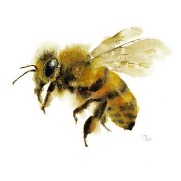 Honey Bee watercolor painting Art Print. Nature Illustration. Honey... ($12) ❤ liked on Polyvore featuring home, home decor, wall art, water colour painting, white home decor, watercolor illustration, watercolor painting and white wall art