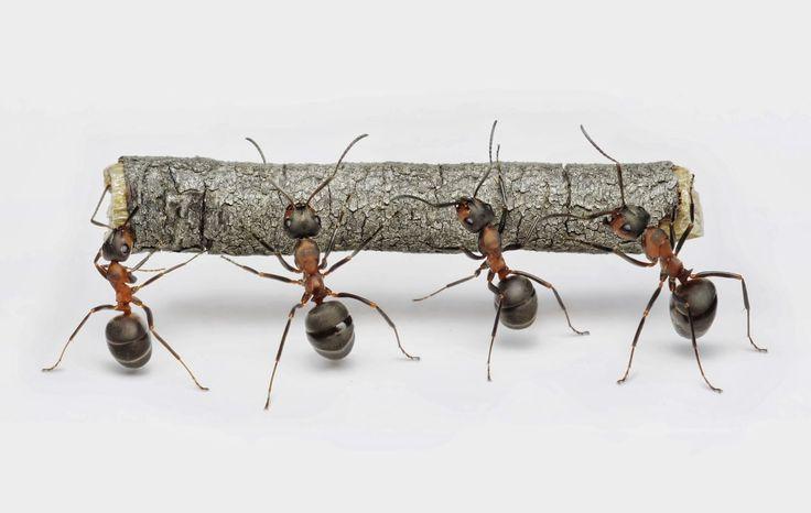 10 astuces naturelles contre les fourmis ?