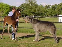 heelerandthehound: irish wolfhound