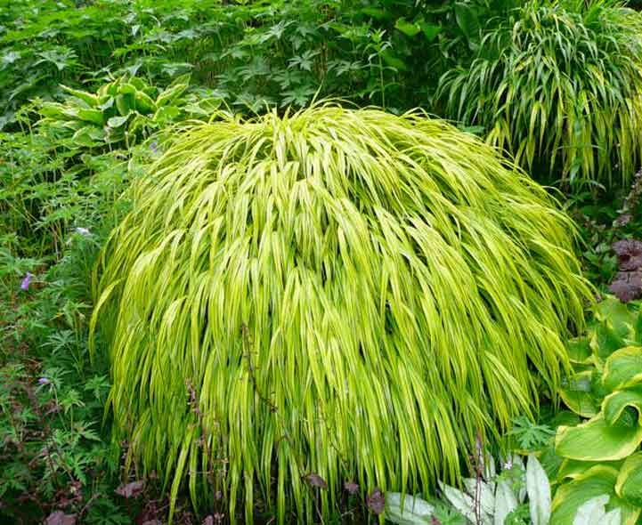 68 best ornamental grasses images on pinterest for Tall perennial grasses for shade