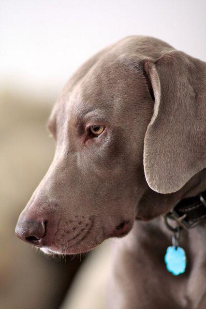 Pictures of Weimaraner Dog Breed