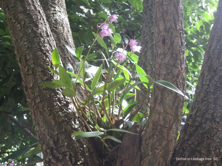 Orchid growing in Cabbage Tree