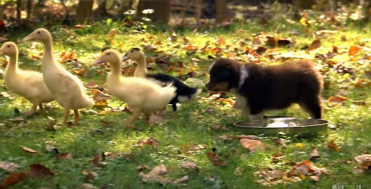 These mini Australian shepherds don't quite understand exactly what to do to make the baby ducklings go away. However all we know is that thisis extremely adorable! In the video below, these mini Australian Shepherd dogs get an introduction toherdinglivestock.They quickly get the hang of it because of their natural herdingskilland mother's teaching. At first, …