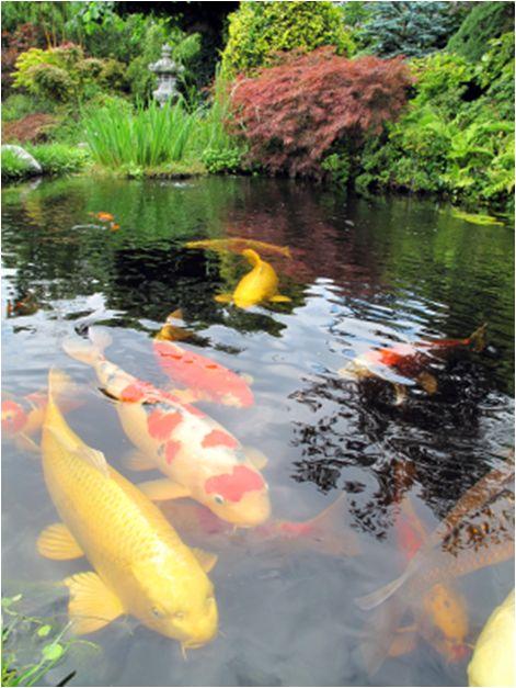 493 Best Koi Fish Goldfish Images On