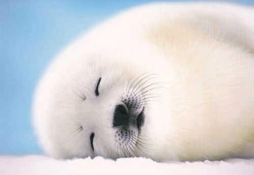 Content baby seal