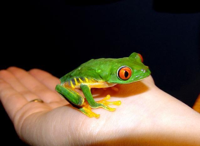 https://arboricola.com/ - Agalychnis callidryas, rana verde de ojos rojos   Este anfibio anuro pertenece a la familia extensa y diversificada de los hylidae y del genero Agalychnis, propio de las tierras bajas tropicales del sur de México, en América Central y en la región norte de Sudamérica.   #ranaarborícola, #ranaverde, #ranacalzonuda, #anfibiosanuros
