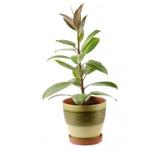 Picture of a rubber plant