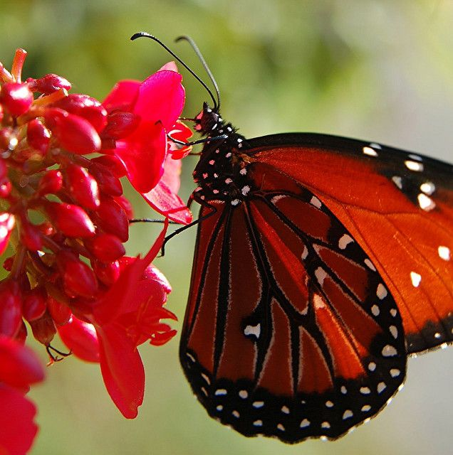 Monarch Butterfly sipping nectar from red Spicy Jatropha flowers