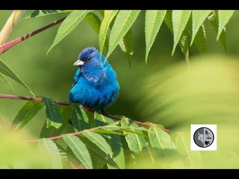 Birds of Quebec: Indigo Bunting, Northern Cardinal and Rose-breasted Gro...