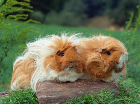 guinea pigs love having friends!!! too cute!!!!
