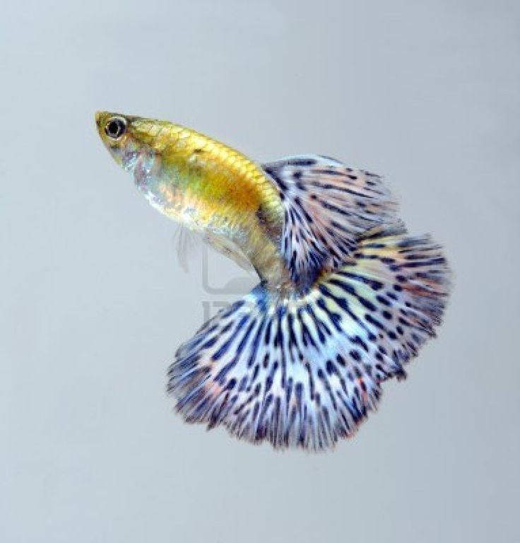 24 best fancy guppies images on pinterest guppy candies for Fancy guppy fish