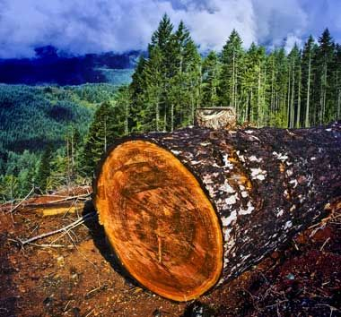 Oregon designated the Douglas-fir (Pseudotsuga menziesii) as the official state tree in 1939. Named after a Scottish botanist who traveled through Oregon in the 1820's, the Douglas fir can grow to a height of 325 feet and have a 15 foot diameter trunk (averaging 200 feet in height and six feet in diameter). The timber from Douglas firs is said to be stronger than concrete.