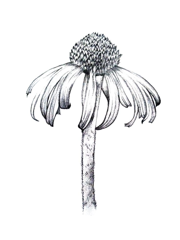botanical line drawing - Google Search                                                                                                                                                                                 More
