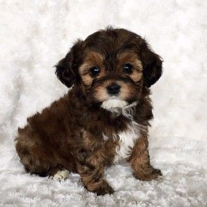 Teacup Puppy Maltipoo -COCO - iHeartTeacups