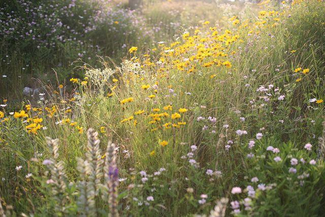 Someday I will grow my own prairie of wildflowers...