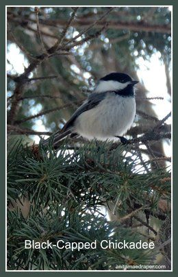 Black-capped Chickadee see March 26, 2017 near Montmartre, SK