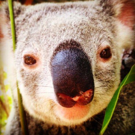 Kute Koala - Photo @rosiewok at  Port Douglas Wildlife Habitat http://blog.queensland.com/2014/10/04/animal-love-queensland-instameet/ #thisisqueensland