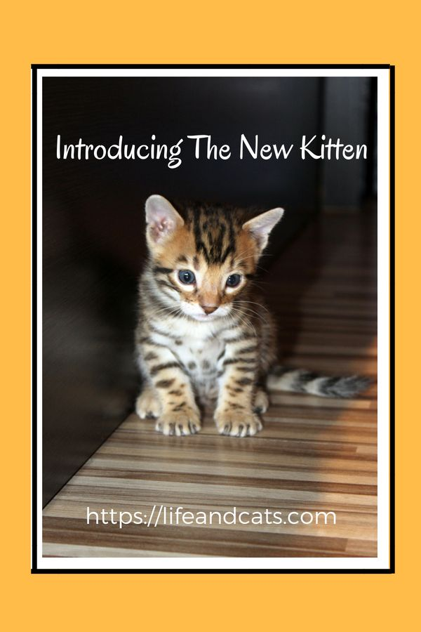 Introducing The New Kitten To The Household Raising Kittens Kitten Care Buy A Cat