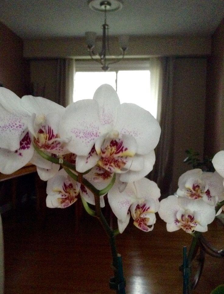 Phalaenopsis 'Radiance' Orchid