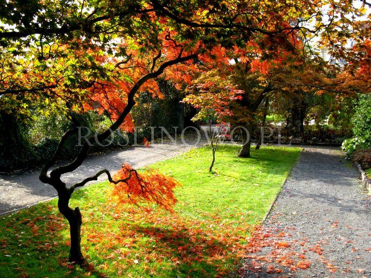 klony japońskie jesienią - Japanese maples (acer) in autumn.
