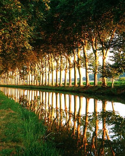 Plane trees along the Canal du Midi in France