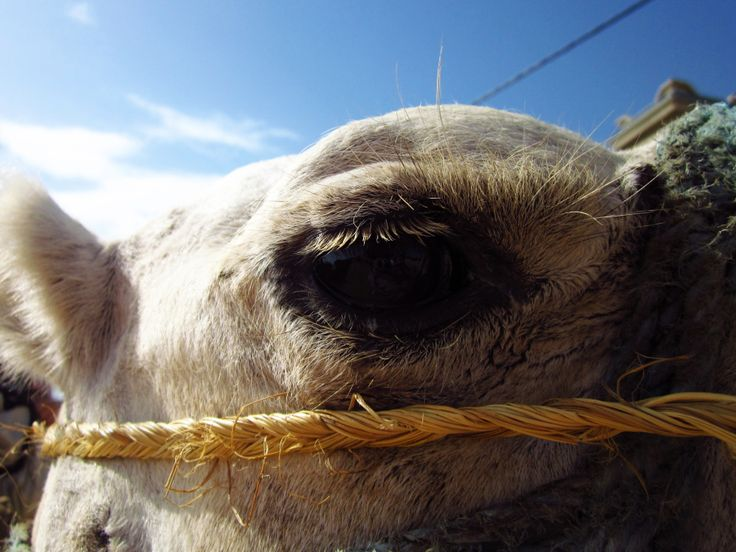 A Camel and his long lashes, Tunisia