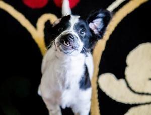 O cãozinho tem lábio leporino e fenda palatina, o que fez com que ele tivesse…