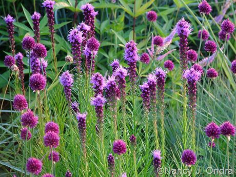 These look good around town now but I heard they look ratty after they bloom: Drumstick allium and liatris
